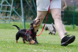 A puppy being trained on a leash