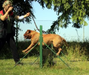 A dog being trained