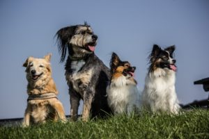 Lots of trained dogs smiling
