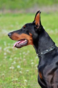 Large black and brown dog