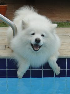 A Samoyed by water