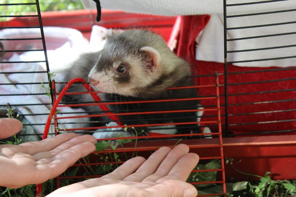 Ferret in Cage