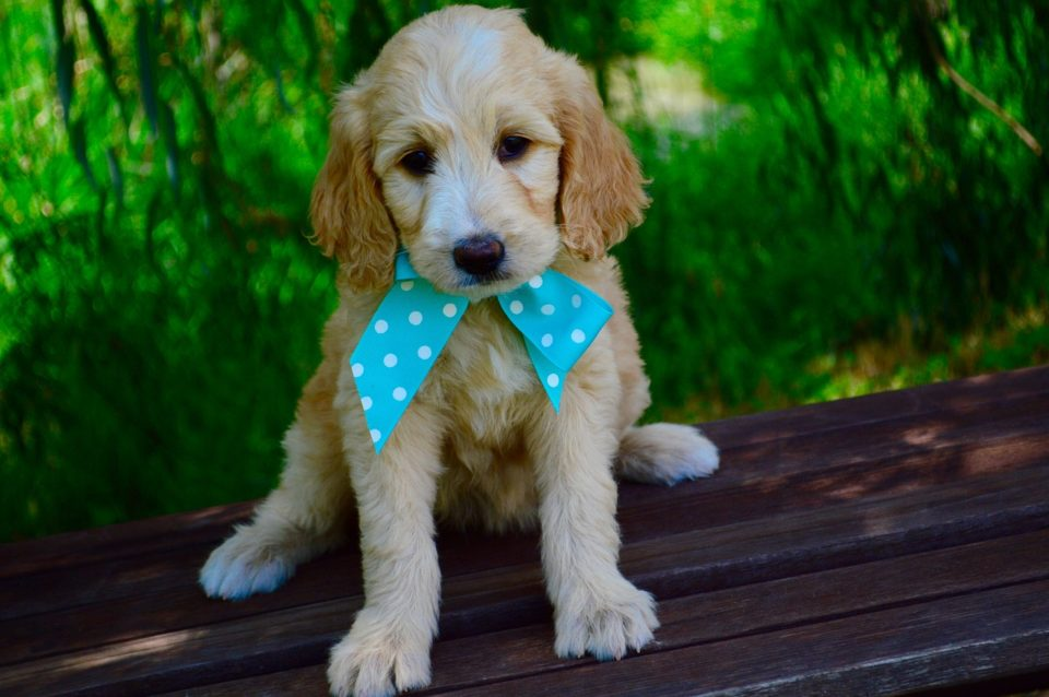 A cute Goldendoodle puppy
