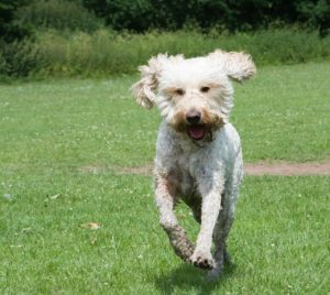 A goldendoodle running