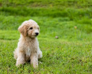 Goldendoodle puppy sitting in a field