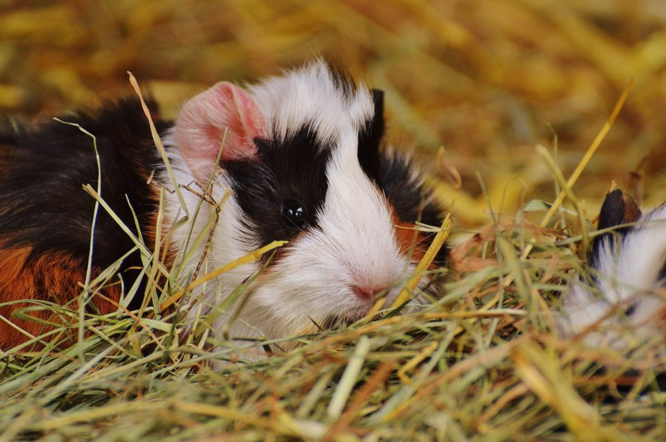 What To Line A Guinea Pig Cage With, Using Straw For Guinea Pig Bedding