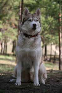 A proud husky staring into the distance