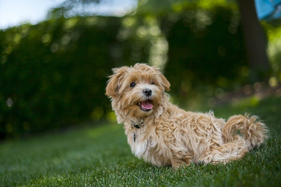 A small curly haired dog