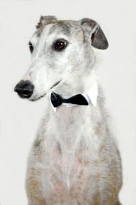 A dog with a bow tie