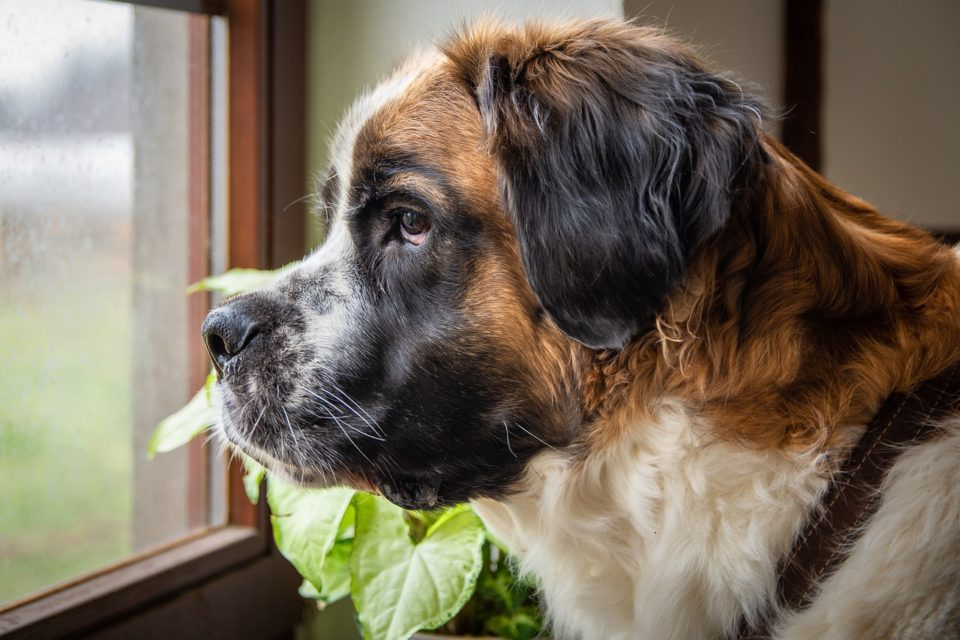 Large dog looking out the window
