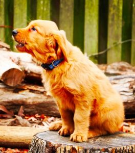 A puppy howling