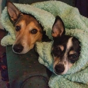 Two dogs in a blanket