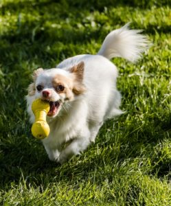 A dog running with a toy