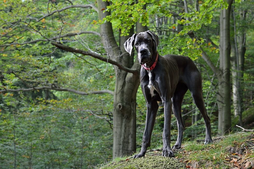 A Great dane