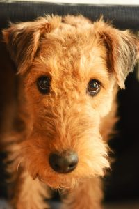 A airedale