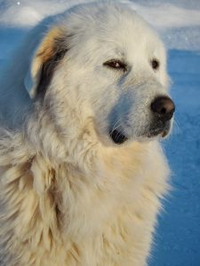 A Great Pyrenees