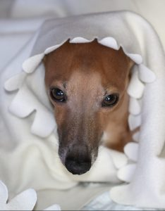 A Italian greyhound on do Italian Greyhounds shed